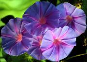 Morning glory family: Convolvulaceae