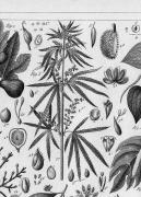 Cannabis Sativa (1851)