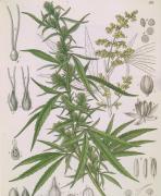Pharmacopoeia Borussica (1863), Otto Karl Berg, Cannabis sativa, industrial hemp