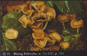 Bluing Psilocybe (Psilocybe cyanescens).jpg