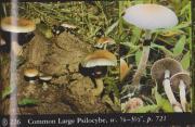 Common Large Psilocybe (Psilocybe cubensis).jpg