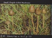 Liberty Cap (Psilocybe semilanceata).jpg
